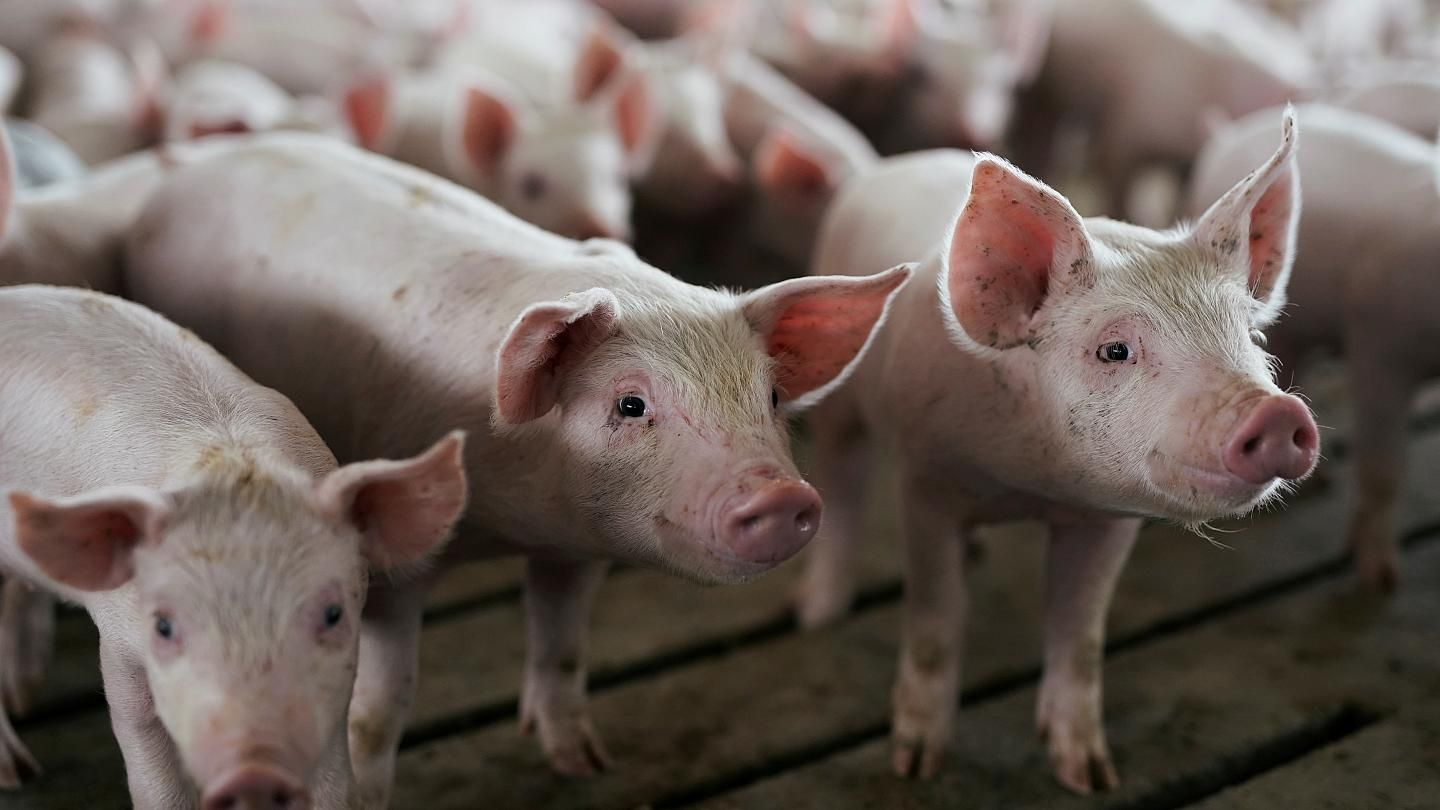 Bulgaria On The Rebound From African Swine Fever In 2020