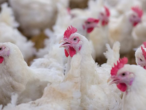Bulgaria Certified To Export Heat-Treated Poultry Products To Argentina