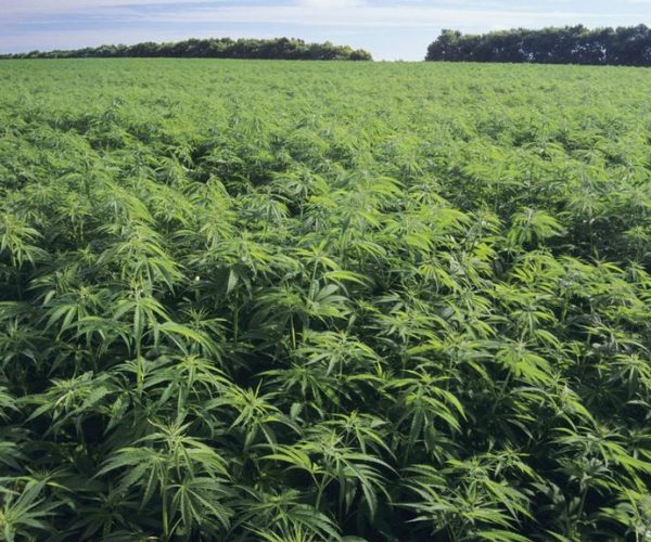 Permit For Hemp Cultivation In Bulgaria Can Now Be Acquired Online