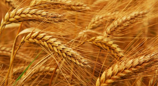 Grain Harvest In Bulgaria Is At A Five-Year High, And Prices Are Rising